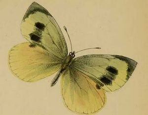 Madeiran Large White Butterfly