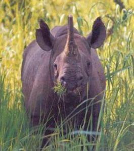 West African Black Rhinoceros