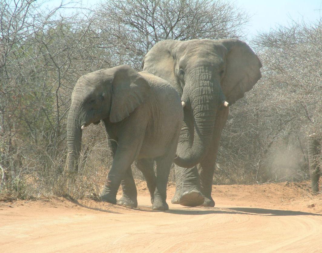 Elephantsfreephotosdotcom
